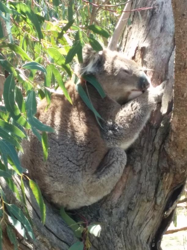 Koala au Koala Sanctuary de Philippe Island, Victoria