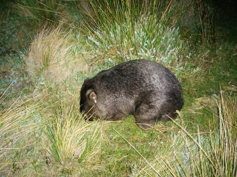 Wombat sauvage dans le Wilsons Promontory National Park, Victoria