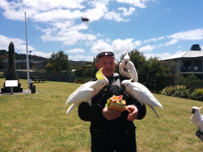 Un homme se faisant attaquer par des white cockatoo (Lorne, Victoria)