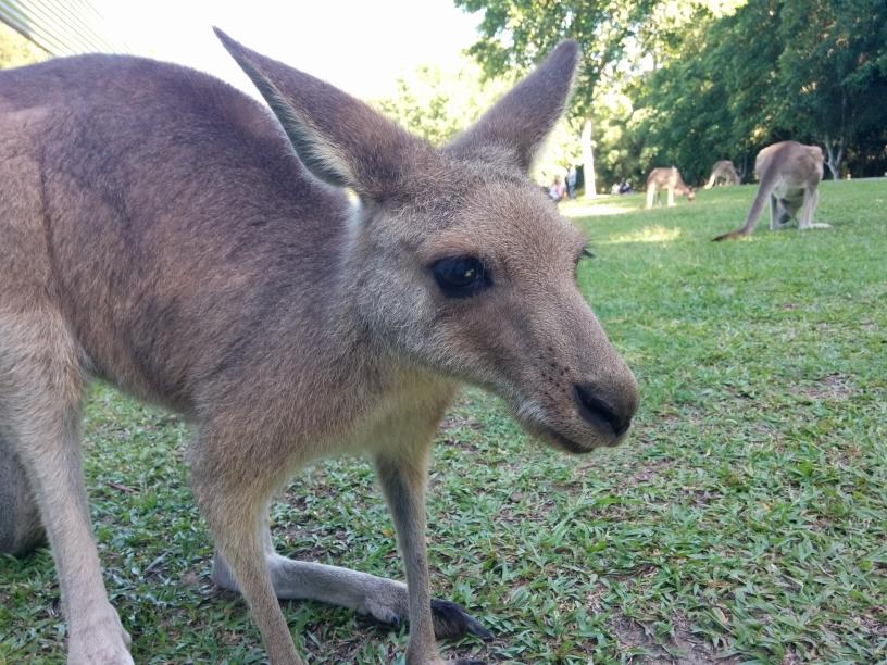 Kangourou à l'Australia Zoo, Queensland