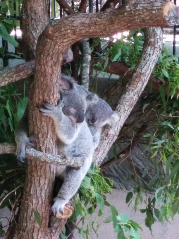 Koala et son bébé, Australia Zoo, Queensland