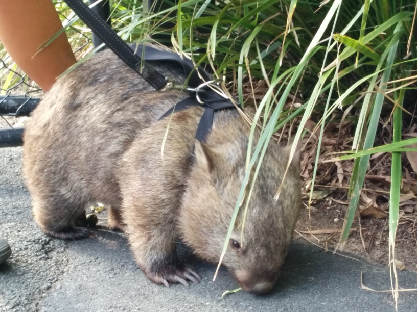 Monsieur Wombat en promenade dans l'Australia Zoo, Queensland